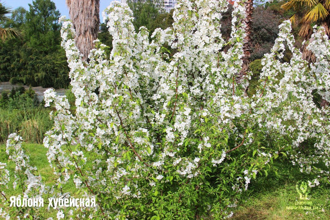 Яблоня хубейская ©Фото пресс-службы Сочинского нацпарка
