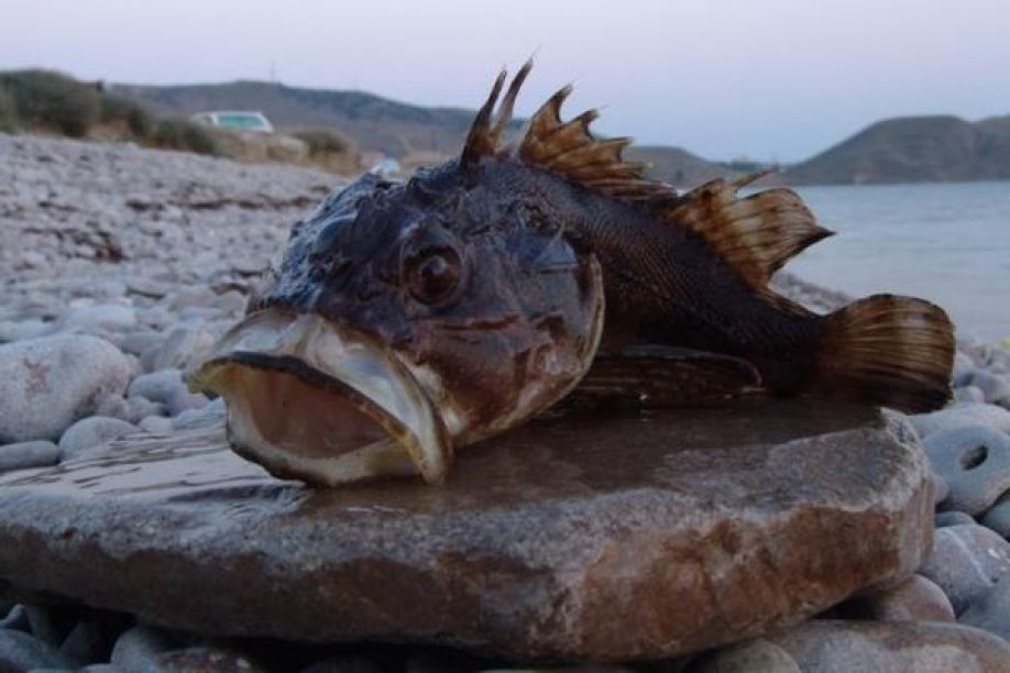 Экологи пытаются выяснить причину выброса наберег морских ершей вСевастополе