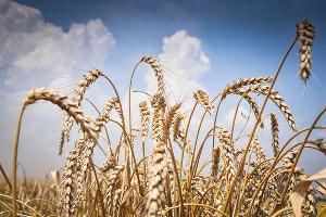 Пшеница ©Фото Елены Синеок, Юга.ру
