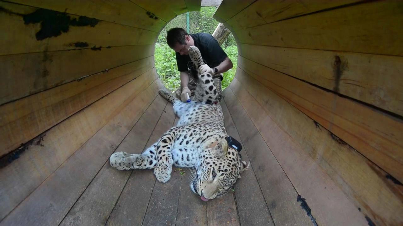 Центр разведения и реабилитации переднеазиатского леопарда ©Кадр из видео канала «WWF Russia» на youtube.com, youtube.com/wwfrussia