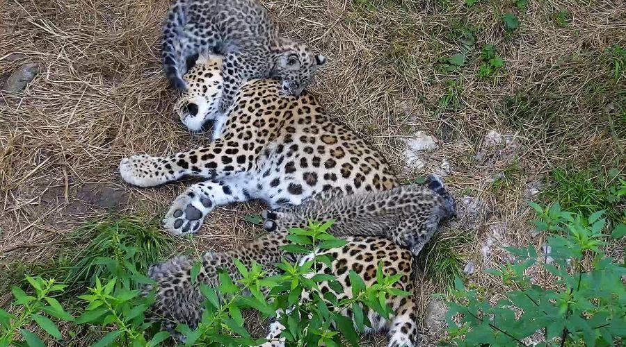Переднеазиатские леопарды в Сочинском нацпарке ©Фото пресс-службы Минприроды России