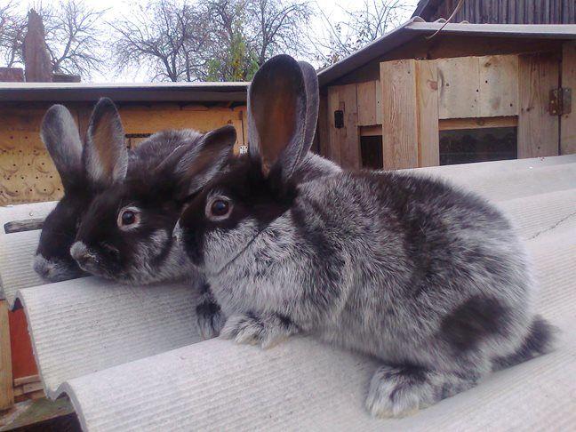 НаСтаврополье воришка «увел» 17 «серебряных» кроликов