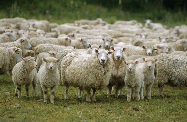 НаСтаврополье осудят двоих мужчин, укравших 200 овец на1 млн руб.