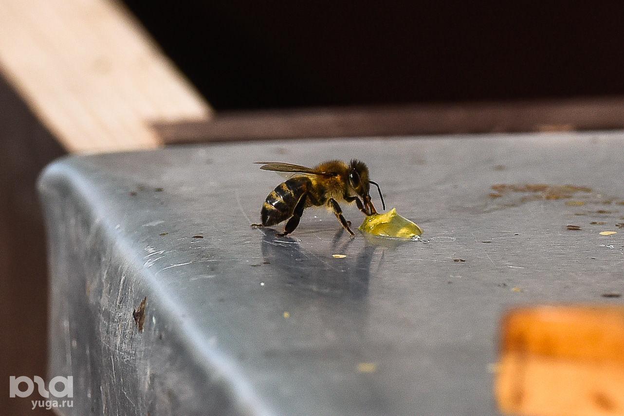 Пчела ©Фото Елены Синеок, Юга.ру