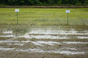 Рисовые чеки учхоза «Кубань» ©Фото Елены Синеок, Юга.ру