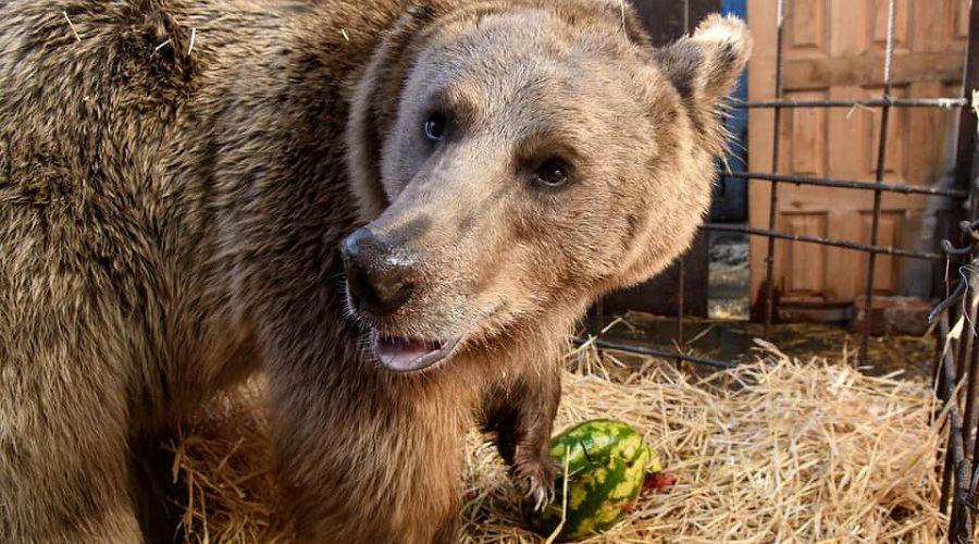 Медведь Афанасий ©Фото со страницы facebook.com/vladimir.verbitskiy
