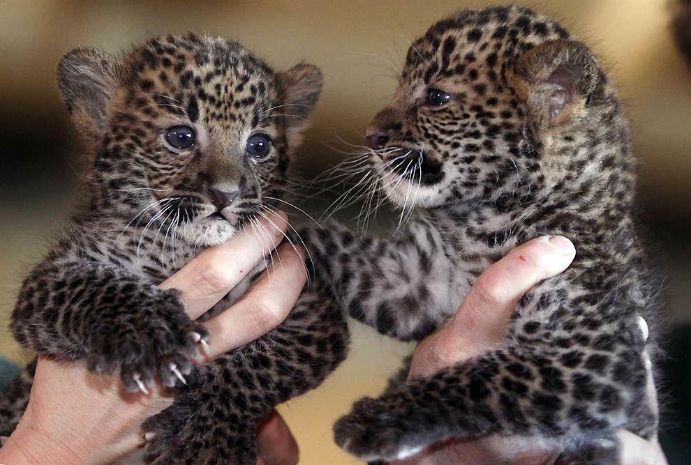 Генпрокуратура Ставрополя нашла сайт собъявлениями опродаже детенышей леопарда