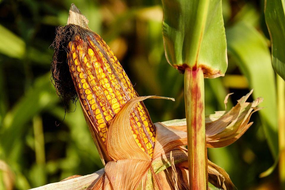 НаКубани мошенники одурачили директора сельхозпредприятия на10 млн руб.