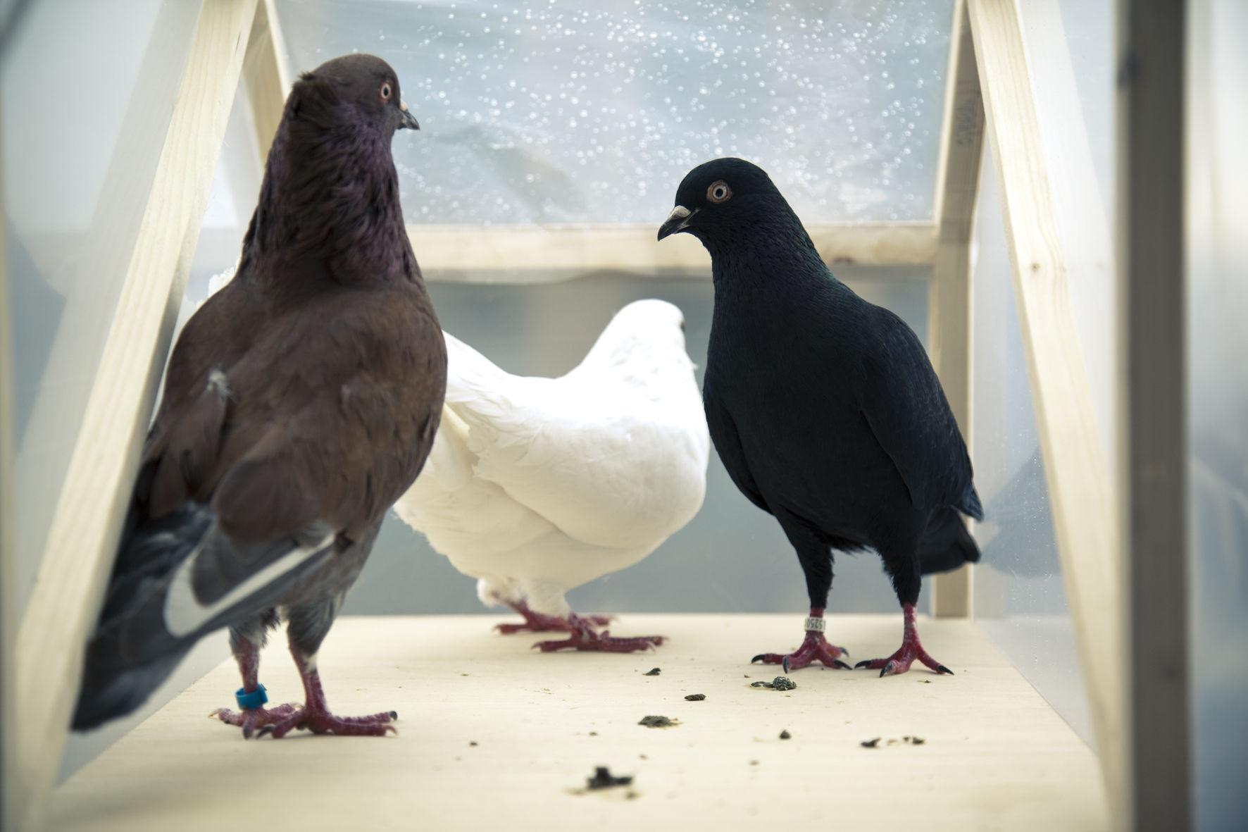 Тур ван Бален (Великобритания), «Золотой голубь». Реализация новой биологической функции у голубей, испражняющихся моющими средствами. Синтетическая биология ©Фото Питера Барта