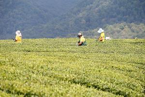 Чайные плантации ©Фото пресс-службы администрации Краснодарского края