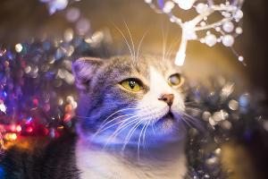Серый вислоухий кот Фрэнки ©Елена Синеок, Юга.ру